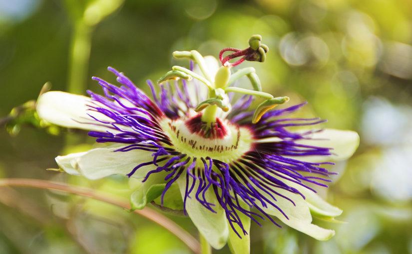 Пассифлора (страстоцвет)