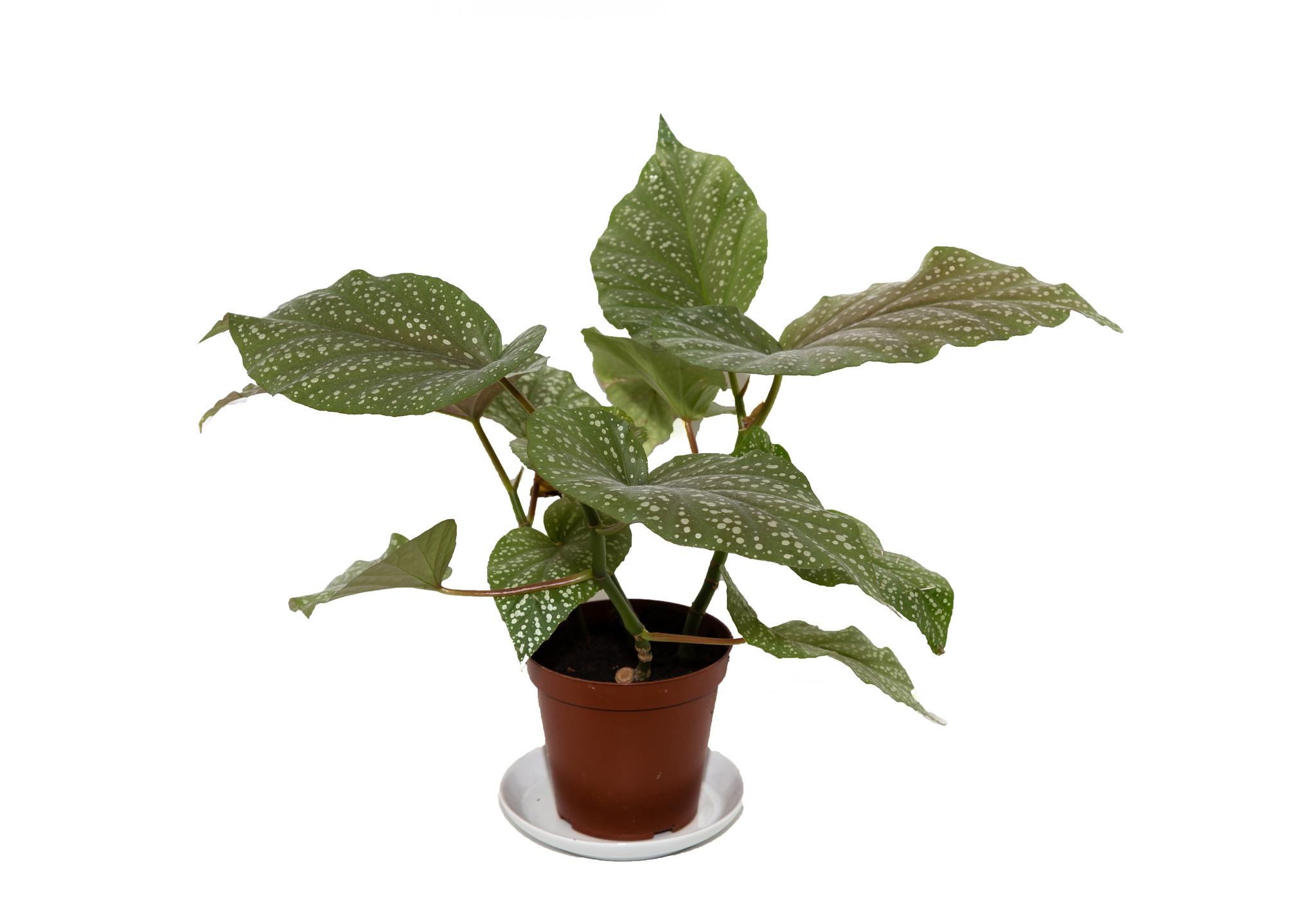 выращивание домашней клубневой бегонии семенами