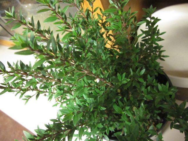 лиственные комнатные цветы