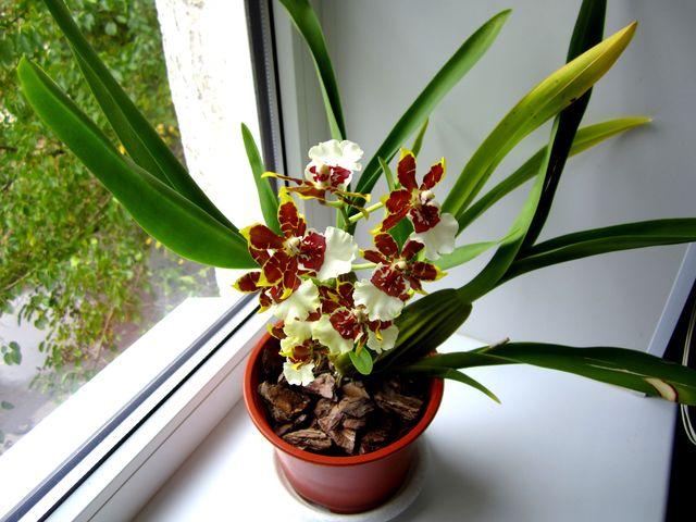 Камбрия - симподиальная орхидея