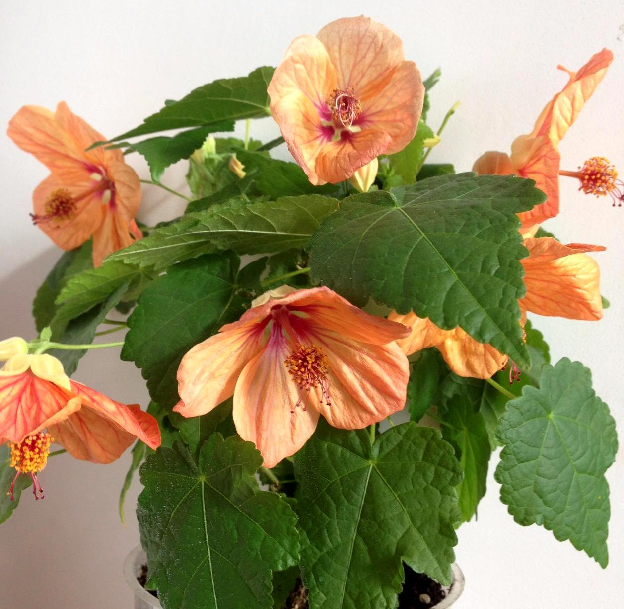 Комнатные цветы фото и названия абутилон
