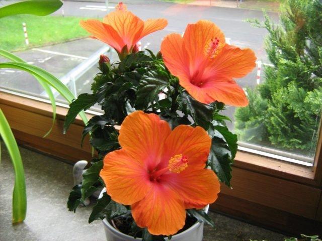 Домашние цветы которые любят солнце цветущие 192