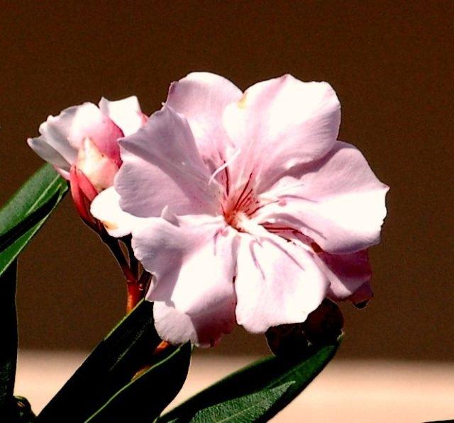 Домашние цветы которые любят солнце цветущие 94