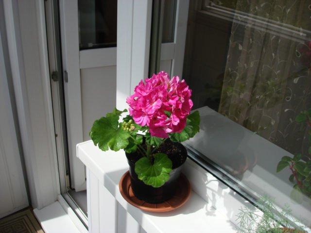 Домашние цветы которые любят солнце цветущие 148