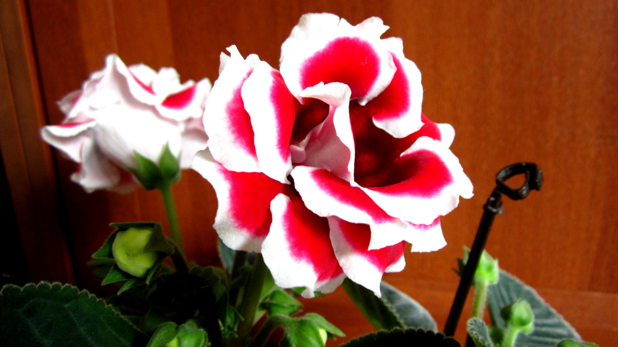 Цветок глоксиния - Комнатные цветы и растения, уход за ними в 89
