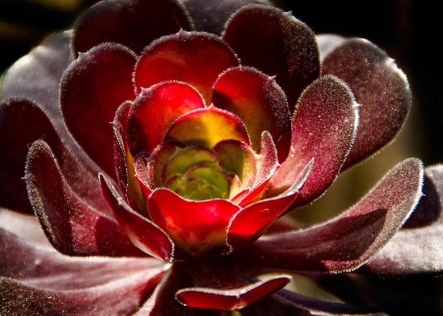Обои цветок, эониум. Макро foto 11