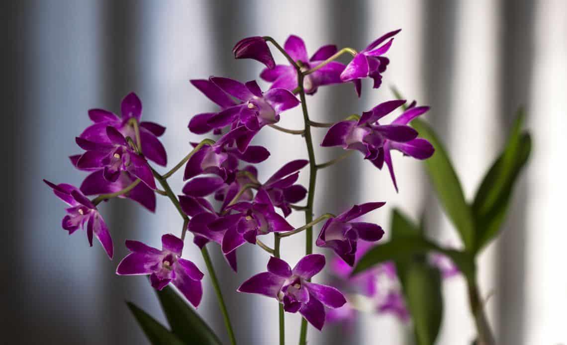 Как размножить симподиальную орхидею